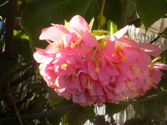 Dombeya wallichii - Tropical Hydrangea, Pink Ball Tree (Dombeya wallichii - Tropical Hydrangea, Pink Ball Tree)