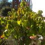 Dombeya wallichii - Tropical Hydrangea, Pink Ball Tree (Dombeya wallichii - Tropical Hydrangea, Pink Ball Tree)