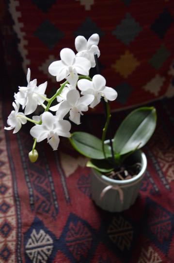 White Phalaenopsis Orchid (White Phalaenopsis Orchid)