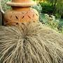 Frosted carex comans 'Bronco' (Carex comans 'Bronco')