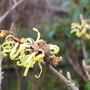 Hamamelis_mollis_pallida_close_up_2015
