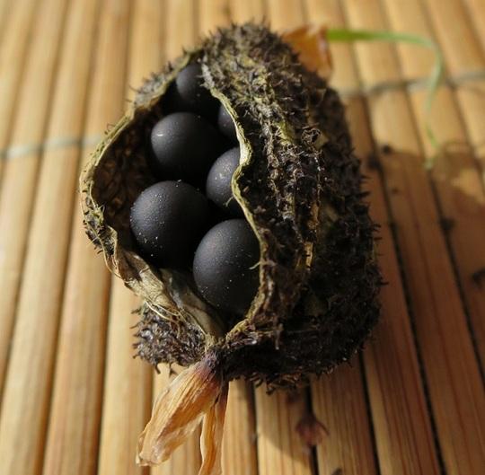 Canna indica seed pod (Canna indica)