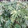 Fatsia japonica (Fatsia japonica)