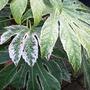 Fatsia japonica 'Spider's Web' (Fatsia japonica 'Spider's Web')