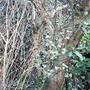 Fremontedendron californicum (Fremontedendron californica)