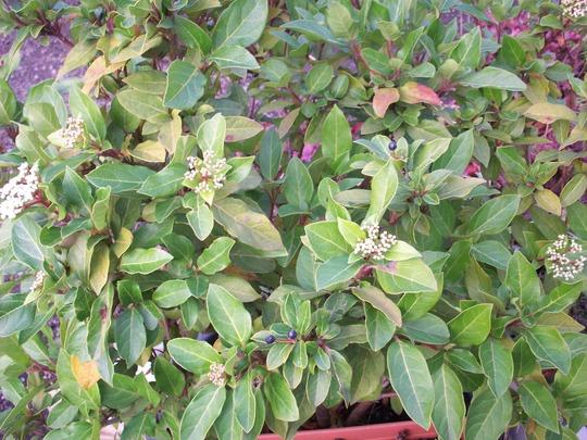 Viburnum tinus (Viburnum tinus)