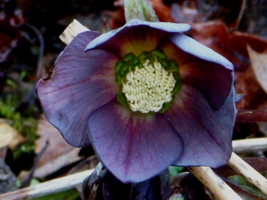 Helleborus Queen of Spades