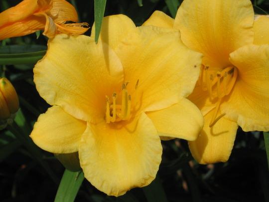 Stella d'Oro daylily (hemerocallis)