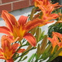 orange daylilies (hemerocallis)