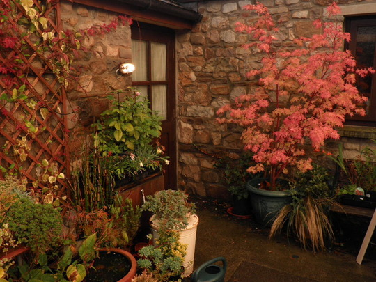 Acer looking great in Oct