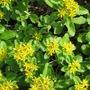yellow blooms on sedum (Sedum spurium)