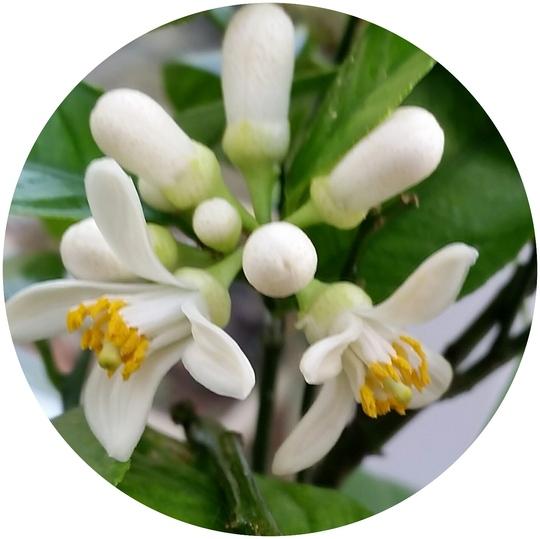Lemon flowering in the garden room..... (Citrus Meyers Lemon.)