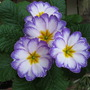 A new polyanthus to give much needed colour!