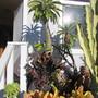 Croton 'Mammy' (Codiaeum variegatum 'mammy')