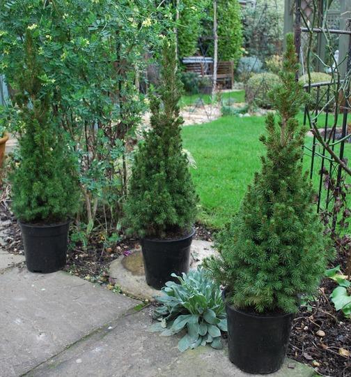 Picea glauca...... (Picea glauca (White spruce).)
