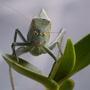 Katydid, green bug