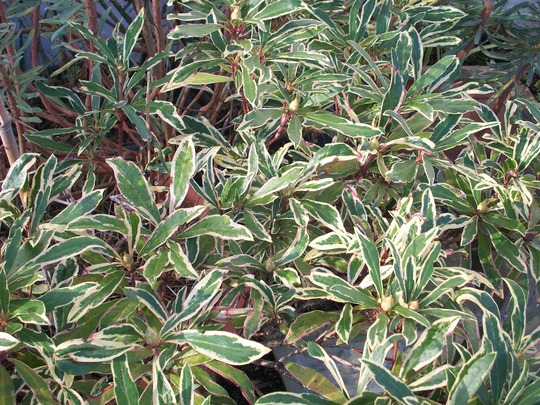 Rhododendron ponticum var cheireanthifolium 'Variegatum' (Rhododendron ponticum var cheireanthifolium 'Variegatum')