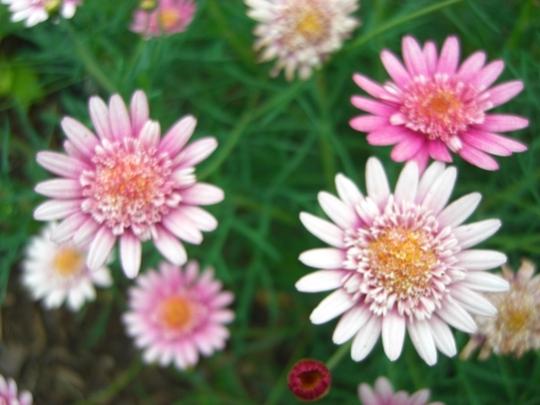 "A garden flower photo (""Marguerites"" - Chrysanthemum frutescens.)"