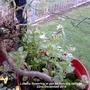 Lobelia erinus (Lobelia)