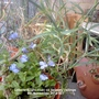 Lobelia_light_blue_on_balcony_railings_06_11_2014_001