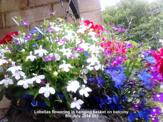 Lobelias flowering in hanging basket on balcony 08-07-2014 003 (Lobelia erinus (Lobelia))