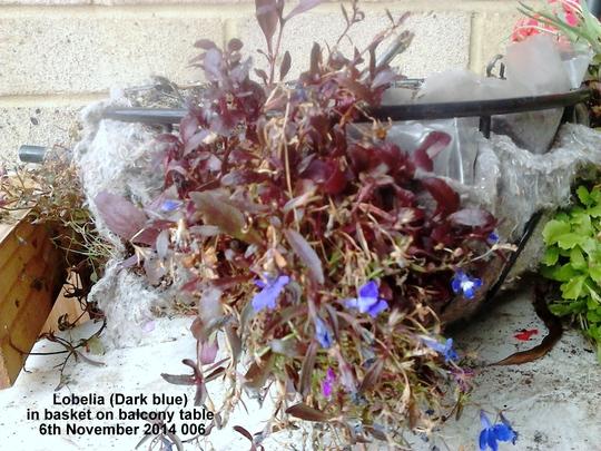 Lobelia Dark blue in basket on balcony table 06-11-2014 006 (Lobelia erinus (Lobelia))