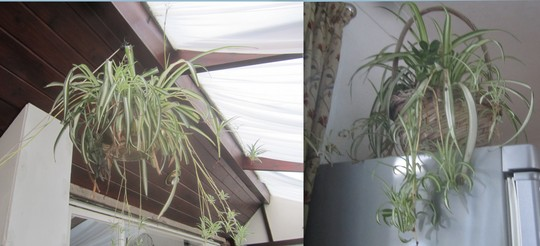 Spider plants have so many young ones coming again.