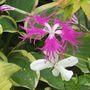 Dianthus Superba
