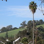 Tall Washingtonia palm (Washingtonia robusta (Mexican Fan Palm))