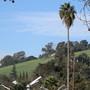 Washingtonia robusta (Mexican Fan Palm)