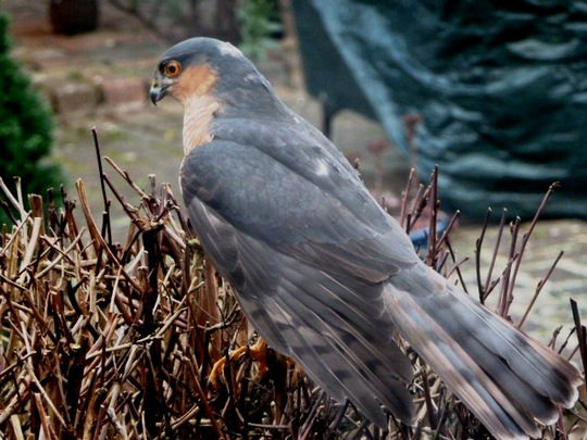 Sparrowhawk ...through the kitchen window