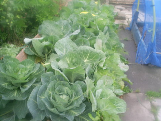 cabbage patch in allotment