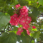 Dombeya cacuminum -Strawberry Snowball Tree (Dombeya cacuminum -Strawberry Snowball Tree)