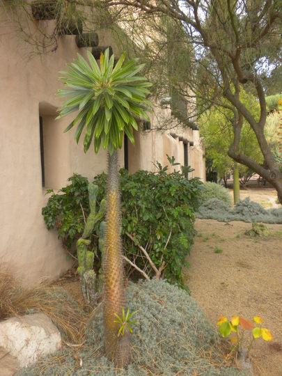 Pachypodium lameri - Madagascar Palm (Pachypodium lameri - Madagascar Palm)