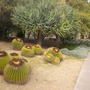 Young Dragon Tree with Golden Barrel Cactus (Young Dragon Tree with Golden Barrel Cactus)