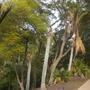 Rhopalostylis sapida - Nīkau Palms Dying (Rhopalostylis sapida - Nīkau Palm)