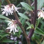 Sarcococca hookeriana var digyna - 2015 (Sarcococca hookerianum var digyna)
