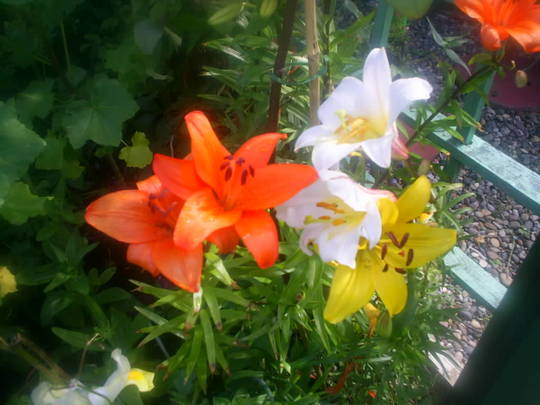 lillys in back garden