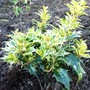 New Osmanthus for golden border. (Osmanthus heterophyllus 'tricolor')