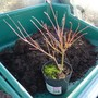 For Sheila...my little bonsai subject (Acer palmatum (Japanese maple))