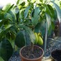 New Lemon Tree for the greenhouse (Citrus limon (Lemon))