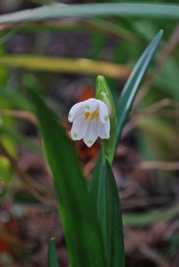 Leucojum...... (Leucojum vernum (Spring snowflake))