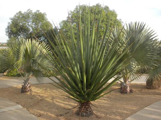 Furcraea macdougalii and two young Bismarckia nobilis (Bismarck Palm) (furcraea macdougalii; Bimarckia nobilis)