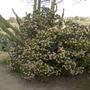 Cacti Growing Out Of  Flowering Jade Plant (Crassula ovata (Jade tree))