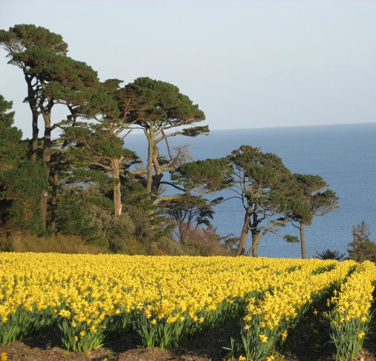 a field of glorious daffodils against backdrop of the sea