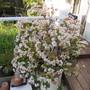 Jade plant in bloom. (Crassula ovata (Jade tree))