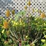 Aloe 'Moonglow' and weeds. (Aloe)