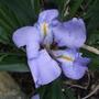 Iris lazica (Iris lazica)