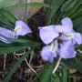 Iris lazica x 2. (Iris lazica)