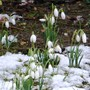 Snowdrops_in_the_snow